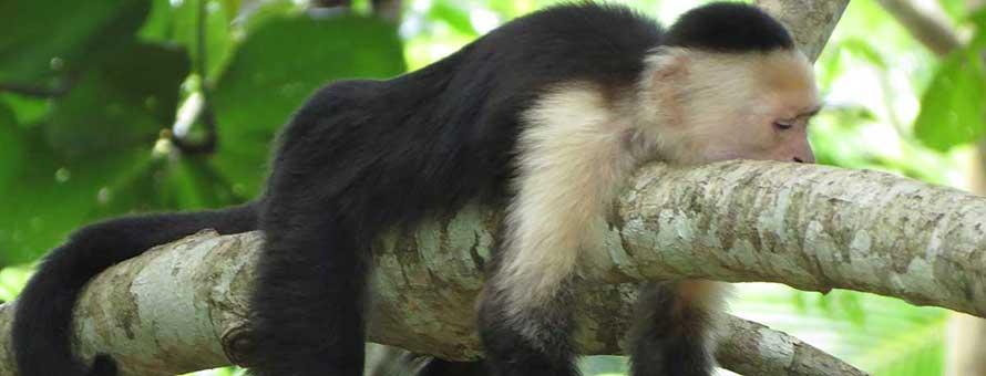 Bungalows Ache monkey next to Cahuita National Park